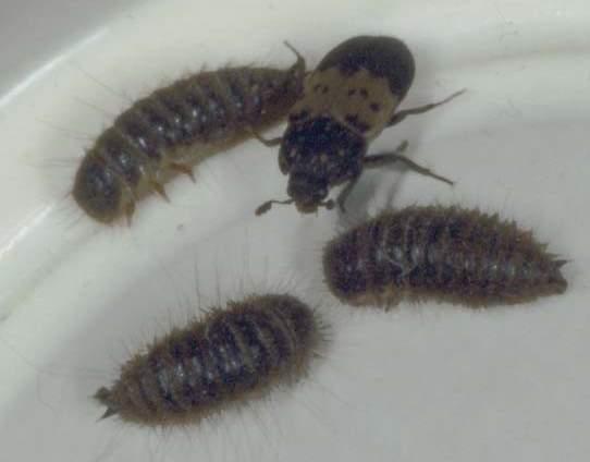 Кожеед ветчинный личинки фото