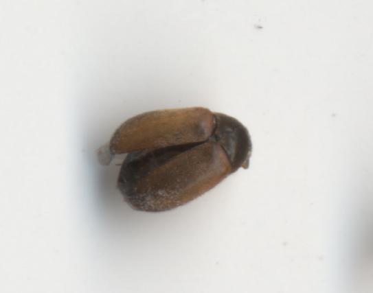 фото жук кожеед
