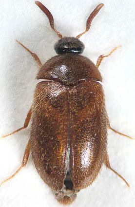 Большой коричневый жук фото