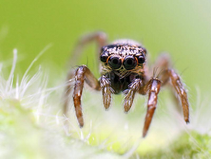 Комнатные пауки