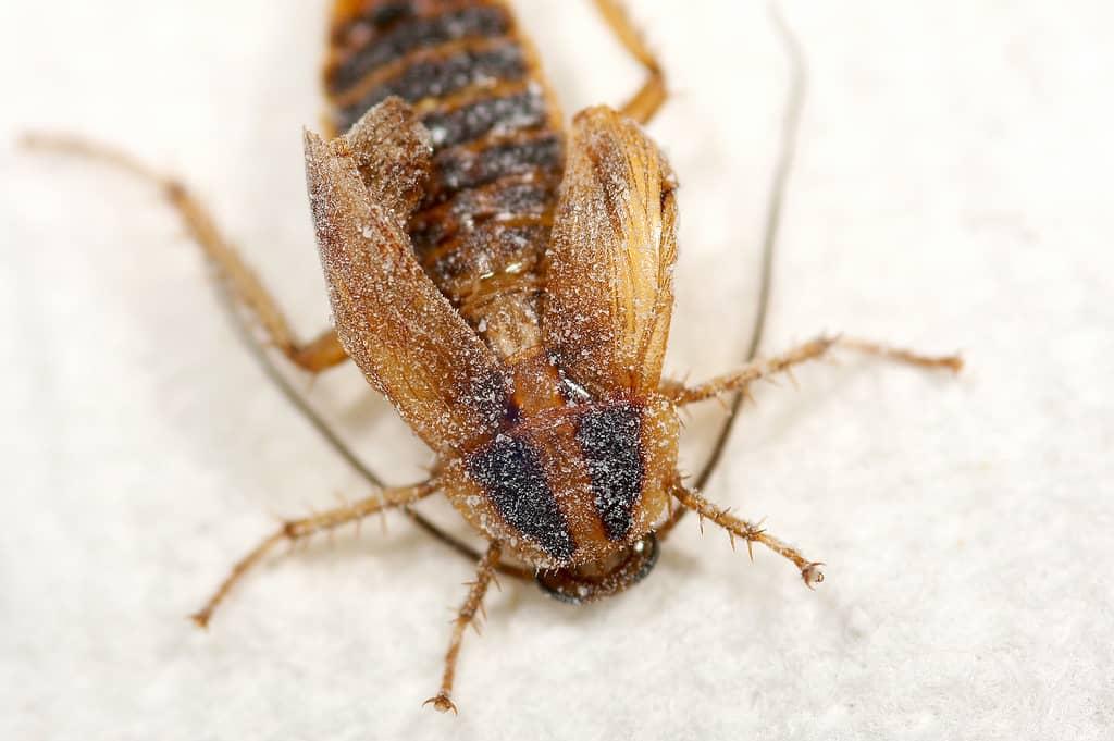 Борная кислота убивает тараканов
