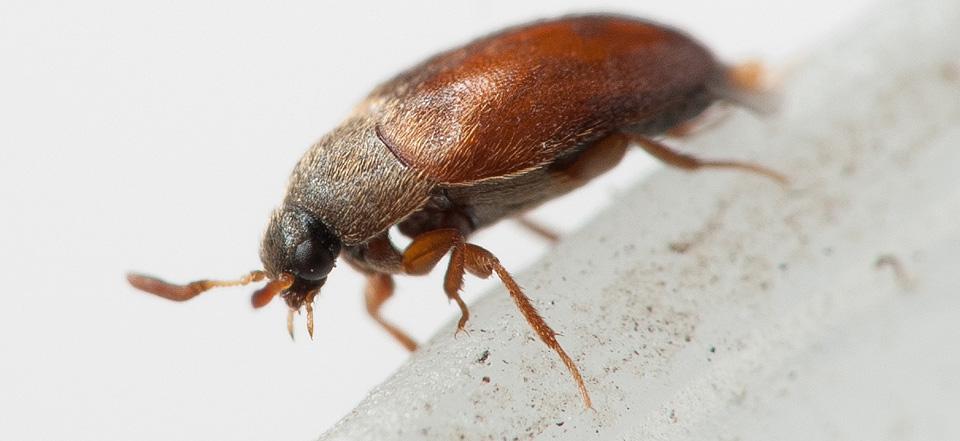 в диване завелись жуки фото