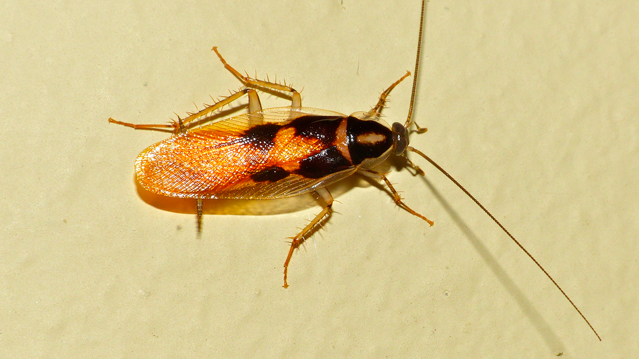 самец мебельного таракана