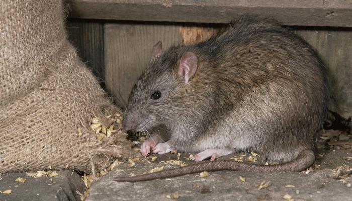 Крыса ест зерно