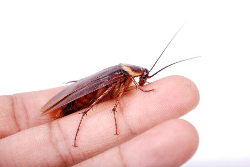 могут ли тараканы залезть на человека