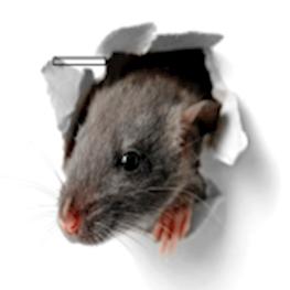 Чем опасны крысы