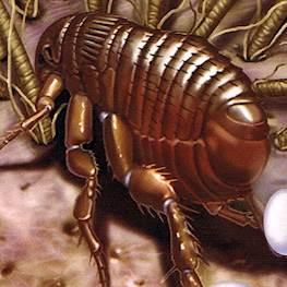 Как размножаются блохи, как выглядят яйца и личинки