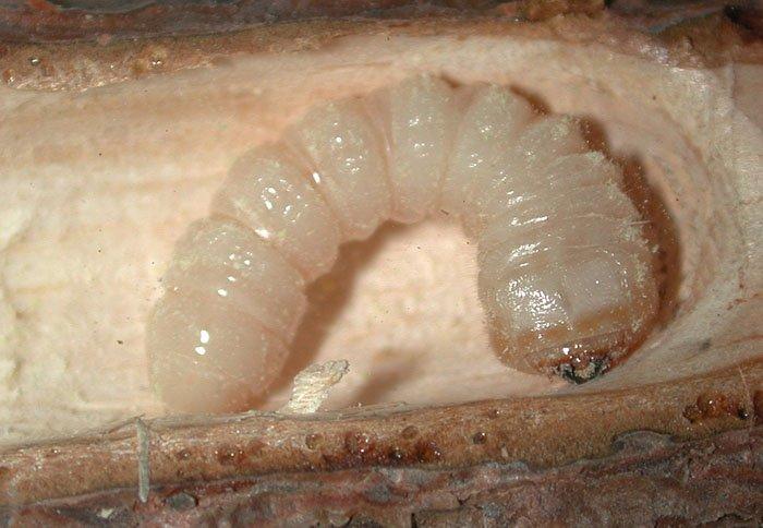 личинка жука древоточца