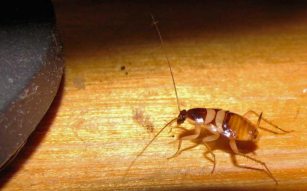мебельный таракан на мебели