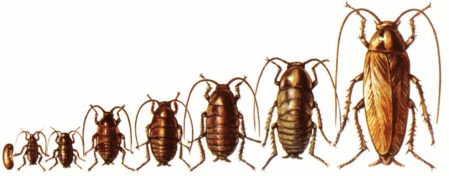 как развивается и сколько живут тараканы домашние
