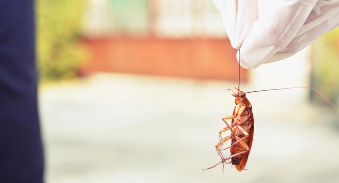 стоит ли применять лавровый лист от тараканов