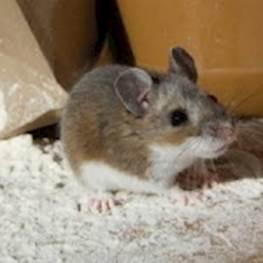 Защита дома от мышей и крыс: 5 надёжных вариантов