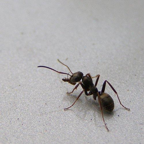 Черный садовый муравей фото