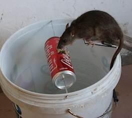 Как поймать крысу в доме без мышеловки