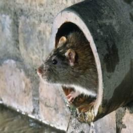 Как вывести крыс из сарая народными средствами (без химии)