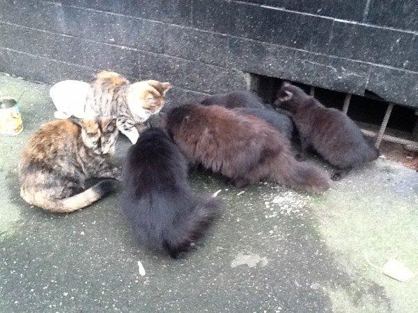 кошки источник распространения  блох