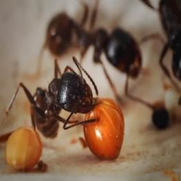 Чем питаются муравьи в домашних условиях