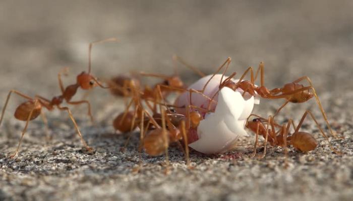 Муравьи едят яйцо