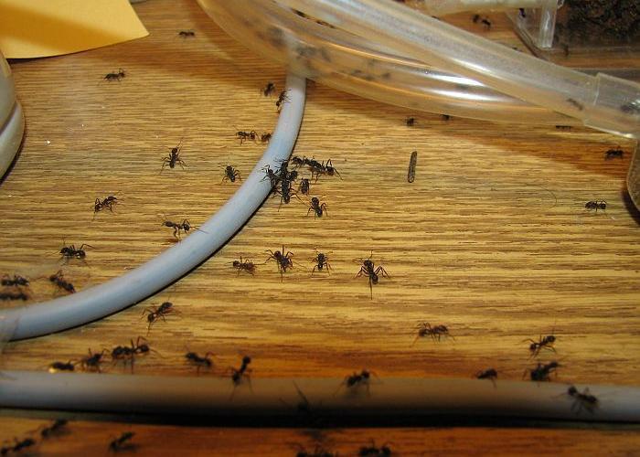 большие черные муравьи в доме