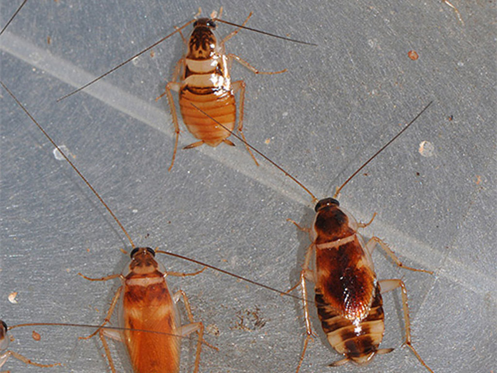 мебельный таракан нимфы