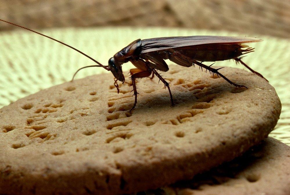 Таракан на печеньке