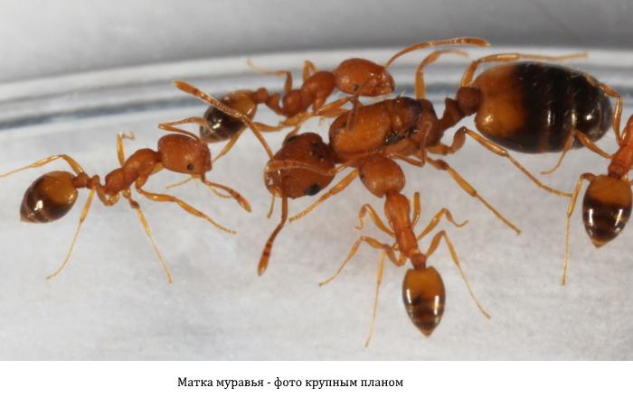 Матка муравья крупным планом