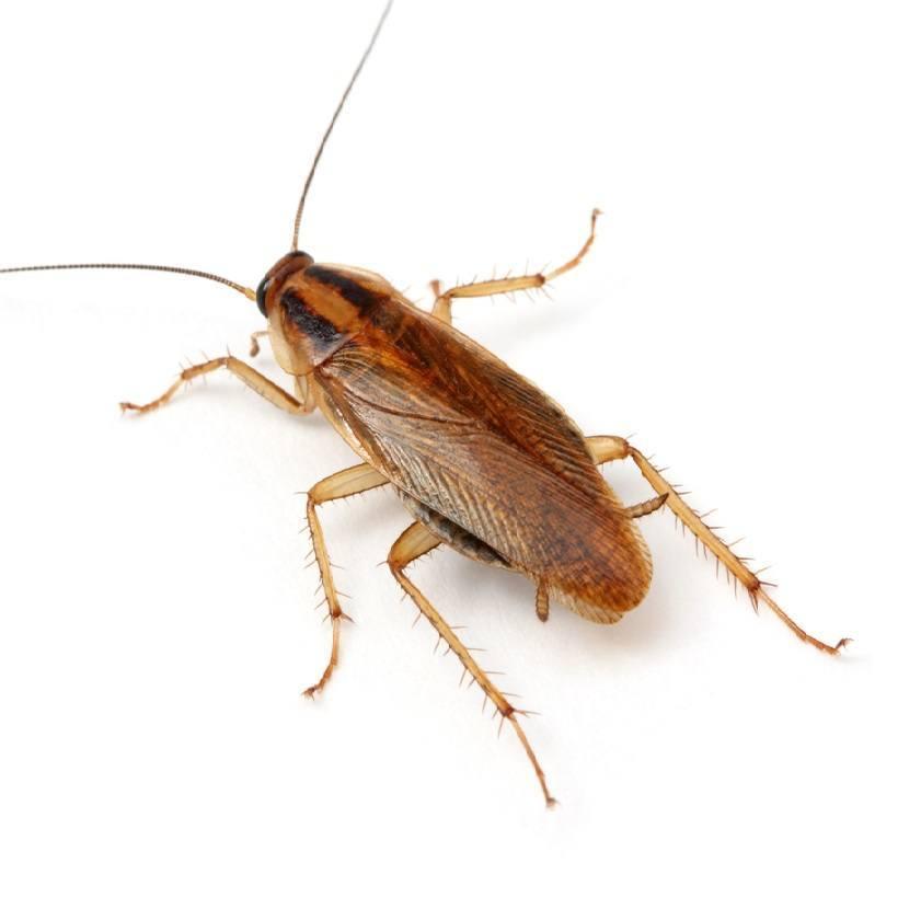 Самец рыжего таракана
