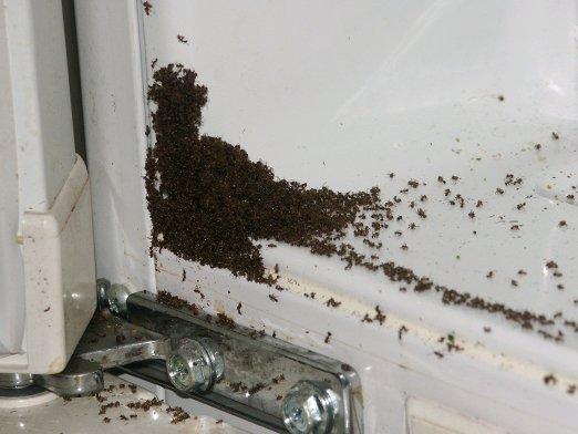 черные муравьи в углу
