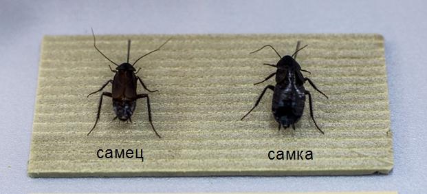самец и самка таракана