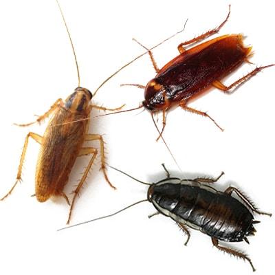 как кусаются тараканы