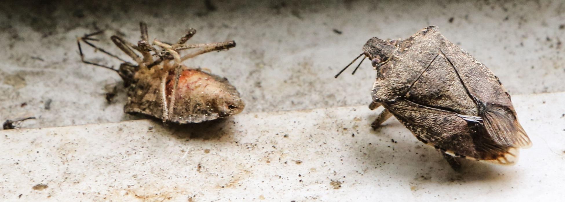 коричнево-мраморный клоп как бороться дома и на участке