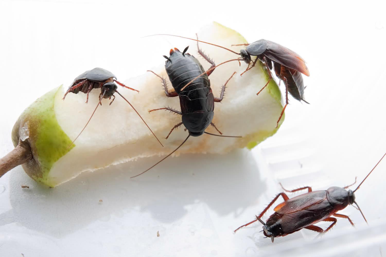черные тараканы опасные вредители