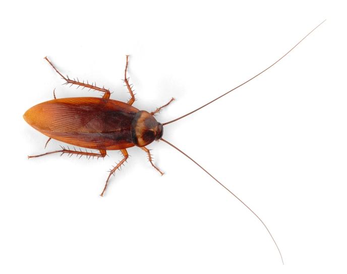 самка американского таракана