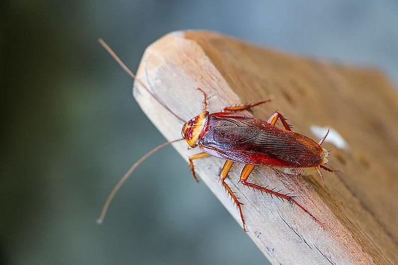 чем опасны домашние тараканы