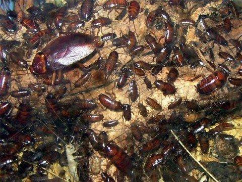 навсегда избавиться от тараканов