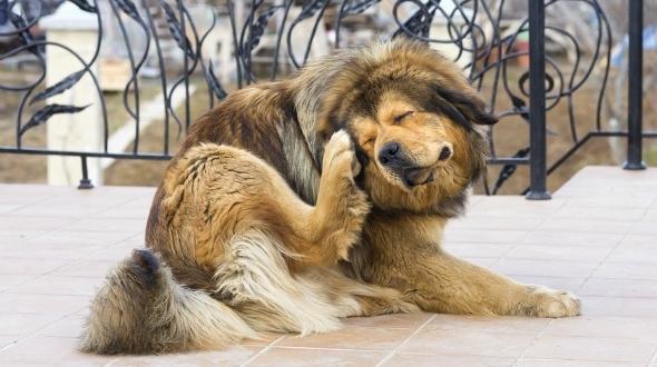 opas koshh blohi - Опасны ли кошачьи блохи для человека и животных