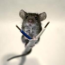 Почему заводятся мыши