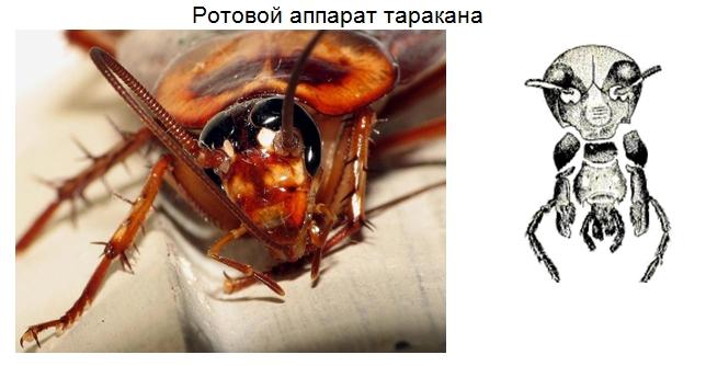 как кусают тараканы домашние фото