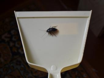 Большие черные тараканы дома фото
