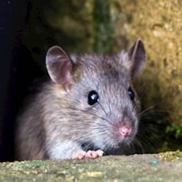 Последствия при несвоевременном выведении мышей