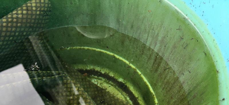 lichinki-komarov-v-gryaznom-i-mokrom-vedre.jpg